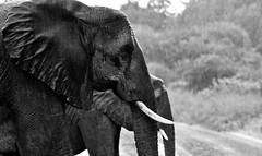 Wet Elephants, B&W (Denis Roschlau Photography) Tags: africa blackandwhite elephant rain southafrica wildlife safari afrika südafrika krugernationalpark mpumalanga tusk bigfive krügernationalpark