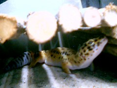 Garth the Gecko (Sharklemons) Tags: cute yellow reptile lizard gecko garth leopardgecko