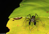 black jumping spider (♂) from W-Papua featuring ant-mimicry (frontal)