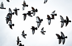 Birds Flying Overhead (mjkjr) Tags: atlanta sky bird birds ga georgia rebel atl pigeon wildlife pigeons birding thebirds handheld birdsinflight canondslr newnan orly telephotolens flockofbirds spreadeagle 70200mm birdinflight 500d 2011 potn f4l canonlenses overmyhead 30265 ef70200mmf4lusm clubsi t1i 112011 mjkjr httpwwwflickrcomphotosmjkjr flockofbirdsinflight