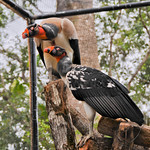 20101229_BZE Zoo_King Vulture_2524.jpg thumbnail