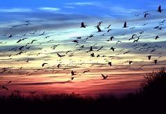 Bats or Birds? (PelicanPete) Tags: sunset nature birds unitedstates florida wildlife ibis national everglades boyntonbeach refuge loxahatchee arthurrmarshall