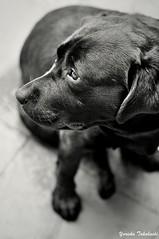 Fidelity (Yuricka Takahashi) Tags: brasil labrador minas gerais pb mg preta takahashi horizonte bh belo cachorra femea yuricka