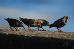 Starlings. (stonefaction) Tags: sea nature birds wall scotland fife starling leven faved