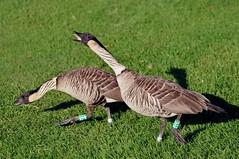 Hawaiian Geese or Nn (Branta sandvicensis) DSC_0116 (NDomer73) Tags: hawaii december calendar best goose nenegoose better nene 2010 hawaiiangoose hawaiiannenegoose byjase calendar2012 30december2010