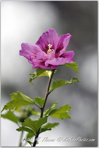 17-365, Hibiscus in flower