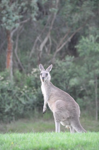A Very Surprised Looking Kangaroo