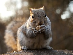 Going Nutty ! 3 (Canonshot Mole) Tags: park food cute animal rodent furry squirrel nuts cheeky feed