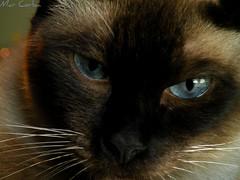 The Look - 3 (Mar. C) Tags: blue portrait look cat eyes ojos gato siames mirada celeste bestofcats nikoncoolpixp80 boc0111