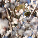 梅とメジロのランデブー