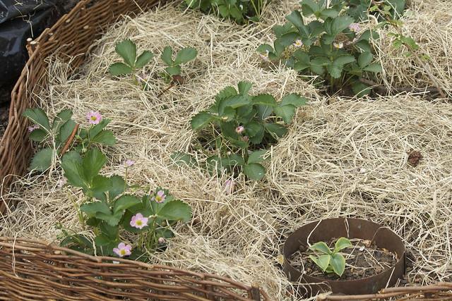 Hayberries