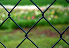 field of tulips ([m.keller]) Tags: flower fence spring tulip april frhling tulpe