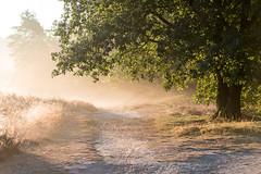 Leuchtende Heide (webpinsel) Tags: herbstanfang morgendämmerung morgenstimmung landschaft natur halternamsee westruperheide weg baum sonnenlicht nebel sythen