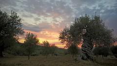 Sicilia (cortomaltese) Tags: olivetree agrigento sicilia italia fattoria farm