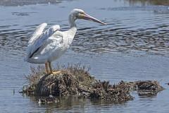 American White Pelican (Pelecanus erythrorhynchus) 2 092216 (evimeyer) Tags: americanwhitepelican pelecanuserythrorhynchos bolsachica wildlifephotography