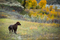 Small Puppy in a Big World (Blazingstar) Tags: tinder puppy flatcoated retriever liver fall alberta