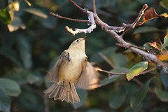 Flit (marensr) Tags: wee bird rubycrowned kinglet nature chicago waters school feathers flight movement