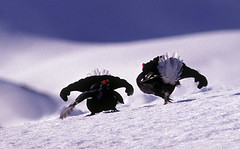 Galli forcelli (silvano fabris) Tags: birds wildlife uccelli naturephotos wildlifephotography blackgrouse tetraotetrix mywinners lyrurustetrix galloforcello