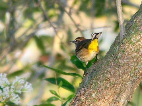 Palm Warbler undertail 20101201