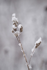 Snowy Plant (Future-Echoes) Tags: snow plant grass dof bokeh depthoffield