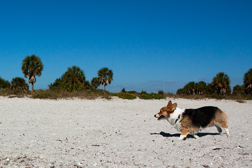 Fort De Soto Corgi Meetup-30