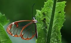 Lepidoptera (Pablo Leautaud.) Tags: fauna insect mexico flora campo unam mx arthropoda guerrero insecto ciencias herbario insecta biodiversidad hexapoda colecta pleautaud fcme