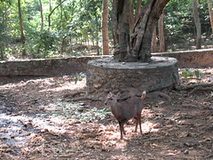 Asian deer, stomping his foot at me (rodeochiangmai) Tags: nature animals thailand wildlife deer asiandeer