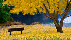 Enjoying the last of fall (Kevin English Photography) Tags: park county color fall leaves yellow canon bench is arboretum usm efs f28 ucdavis ginko yolo cmwd cmwdyellow cmwdweeklywinner kevinenglish ambientfocus