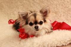 IMG_5126 (hillamaria) Tags: christmas dog chihuahua cute cutie chihuahuas nemi