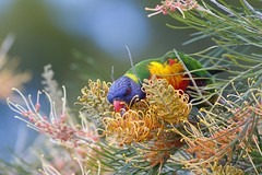 Rainbow Lorikeet (petefeats) Tags: nature birds australia brisbane queensland rainbowlorikeet bribieisland australianbirds trichoglossushaematodus psittacidae psittaciformes
