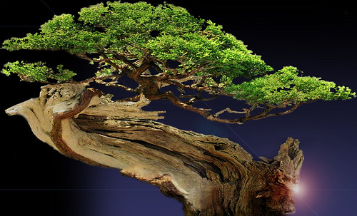 """Bonsai016 • <a style=""""font-size:0.8em;"""" href=""""http://www.flickr.com/photos/30735181@N00/5261345223/"""" target=""""_blank"""">View on Flickr</a>"""