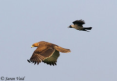 Bonelli's Eagle chased by a crow (Saran Vaid) Tags: wild india bird nature colors beautiful beauty birds fauna fly flying inflight wings asia atack eagle bokeh wildlife birding hunting beak feathers feather evil aves safari raptor crow elegant aggression combat predator airborne span sanctuary quill spotting avian hunt birdofprey omen flee chasing fleeing attacking sighting haryana quills sultanpur birdphotography chased bonellis bonelliseagle sultanpurbirdsanctuary aquilafasciata