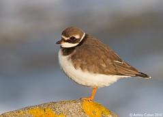 Ringed Plover - High Tide Roost - Explored! (Ashley Cohen Photography) Tags: winter bird nature flickr britishwildlife rhosonsea northwales ringedplover canon400mmf56l unitedkingdomuk canoneos7d canon14xextendermk2