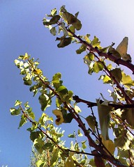 مشمش (Jamal Elkhalladi) Tags: nature automne morocco maroc milli المغرب hassi طبيعة بركان abricotier berkane ميلي حاسي triffa خريف تريفة مشمش