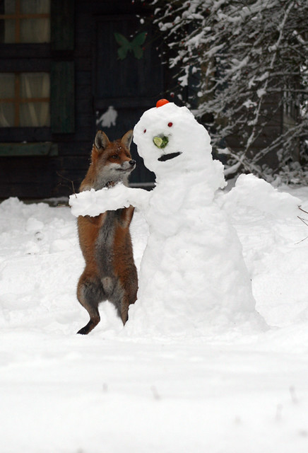 Fox attacks snowman