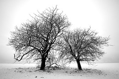 Two trees (.Ronald.) Tags: trees white black tree canon ronald 22 noir cs2 10 hiver brush arbres 24 neige mm tamron et arbre blanc froid d500 lightroom 500d marronnier hesdin piclin