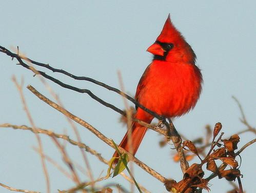 Northern Cardinal 20101220