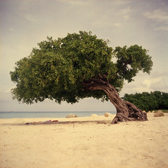 k (Kevin Tadge / Laura Lamp) Tags: ocean plant tree 120 6x6 film beach analog speed mediumformat square nc d aruba iso clothes trunk portra yashica 120mm divi 160 yashicad 160nc dividivi