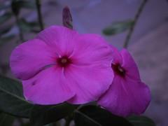 Together Forever ! (Kaustubh Kushte Mean_Machine) Tags: pink macro closeup together pinkflower meanmachine kustubh olympusclos kushte