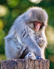 Japanese Macaque In Contemplation (aeschylus18917) Tags: nature japan zoo monkey tokyo nikon ueno wildlife   primate  simian uenopark primates macaque  uenozoo japanesemonkey  macaca  tait macacafuscata 200400mm cercopithecidae cercopithecinae  200400mmf4gvr  uenoken taitku uenoimperialgiftpark uenoonshiken d700 onshiuenodbutsuen haplorrhini  danielruyle aeschylus18917 danruyle druyle   200400mmf40gvr