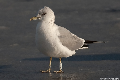 Russian Common Gull, adult, W[EZ77]