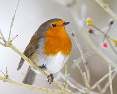 Robin Six Million Four Hundred and Forty Four_ (Andrew Haynes Wildlife Images ( away for a while )) Tags: bird nature robin wildlife coventry warwickshire brandonmarsh canon7d ajh2008