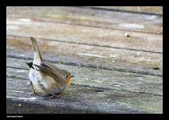 What are you saying? (Tony Emmett) Tags: france bird robin birds wildlife sony sigma alpha a700 sonyalpha sonyalpha700 minoltaamount sigma150500mmf563dgoshsm