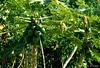 Afgoi, Somalia (aikassim) Tags: farm papaya agriculture somalia hornofafrica eastafrica مزرعة afgooye الصومال afgoi shebeelahahoose