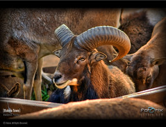 Mouflon, Bahria Town, Rawalpindi, Pakistan (Fotorix Studio) Tags: pakistan wildlife safari jungle punjab islamabad wildanimals rawalpindi mouflon jungleworld ayubpark bahriatown wildlifepakistan bahriatownrawalpindi ayubparkrawalpindi waleedirfan jungleworldinayubpark