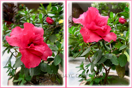 A set of rose-pink Rhododendron simsii or Azalea indica in our garden, December 2010