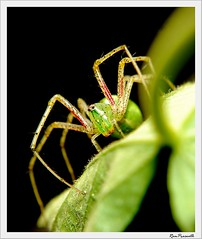Lynx spider (FLASH MEDIA CREATIONS) Tags: india colour macro butterfly insect advertising photography spider interesting nikon fashionphotography wildlife creative insects caterpillar micro ram tamilnadu coimbatore designing professionalphotography foodphotography cbe productphotography fmc industrialphotography advertisingphotography ramprasanth jewelleryphotography photographycompany designinglogo flashmediacreations productphotographyincoimbatore industrialphotographyincoimbatore professionalphotographysolutions photographyprintinglogo coimbatoreweb ramprasanthphotography