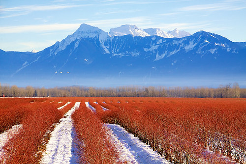 Today in BC: Do Blueberries Turn Red in Winter? | Fraser Valley and The North Cascades