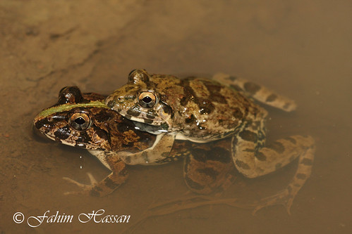 Cricket frogs mating