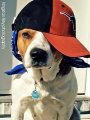 willingness to please (Willow Creek Photography) Tags: dog mutt canine harley hood mansbestfriend mongrel cooldog brownandwhitedog pitbullmix dressedupdog hooddog houndmix harleyrey